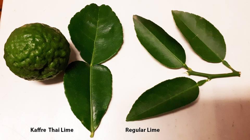 Kaffre Lime tree