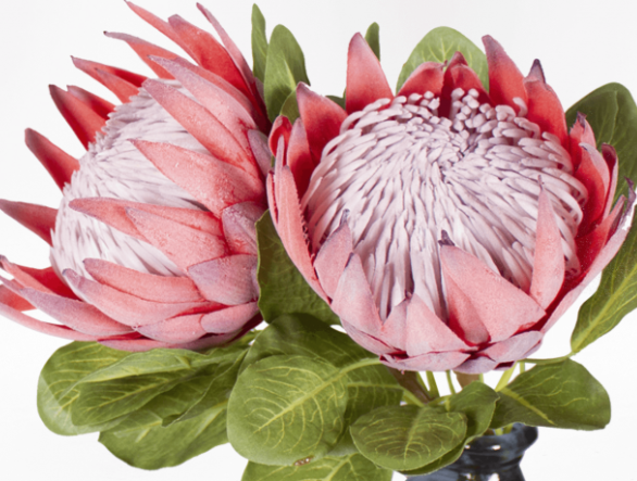 GROWING PROTEAS