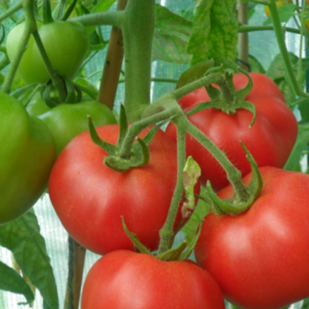 GROW GUIDE  Tomatoes